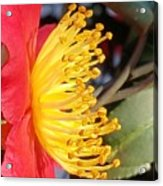 Indian Hawthorn Profile Acrylic Print