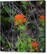 Indian Paint Brush 2 Acrylic Print