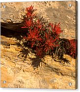 Indian Paint Brush Acrylic Print