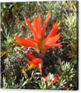Indian Paintbrush And California Sage Acrylic Print