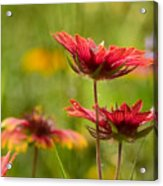 Bright Indian Blanket Acrylic Print