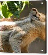 Indian Palm Squirrel Acrylic Print