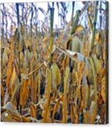 Indiana Corn 1 Acrylic Print