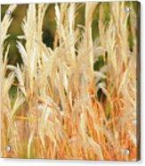 Indiangrass Acrylic Print