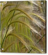Indiangrass Swaying Softly With The Wind Acrylic Print