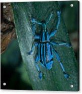 Indigo Blue Weevil Acrylic Print