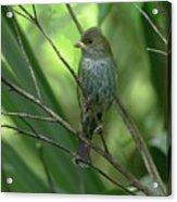 Indigo Bunting - Felts Nature Preserve - Ellenton Florida Acrylic Print