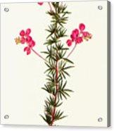 Indigo Plant Acrylic Print