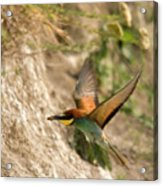 Inflight Feeding Bee Eater Acrylic Print