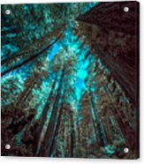 Infrared Redwood Acrylic Print