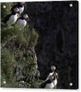 Ingolfshofthi Puffins Iceland 2898 Acrylic Print