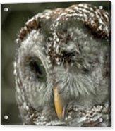 Injured Owl Acrylic Print
