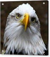 Inquisitive Eagle Acrylic Print