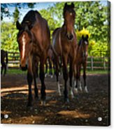 Inquisitive Horses Acrylic Print