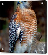 Inquisitive Red Tailed Female Hawk Acrylic Print