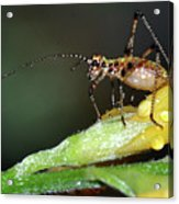Insect And Morning Dew Acrylic Print