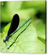 Insect Acrylic Print