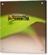 Insect Larva 1 Acrylic Print