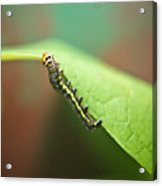 Insect Larva 3 Acrylic Print