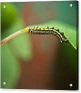 Insect Larva 4 Acrylic Print