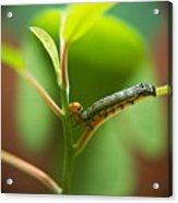 Insect Larva 5 Acrylic Print