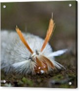 Insect Larvae With Hairdo Acrylic Print