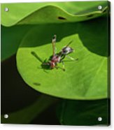 Insect On Lotus Leaf Acrylic Print