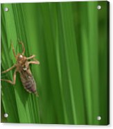 Insect Stain On The Leaf Acrylic Print