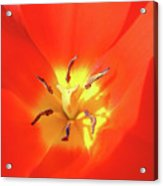 Inside Open Tulip Acrylic Print by Richard Mitchell