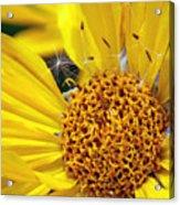 Inside Sunflower Acrylic Print