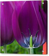 Inside Tulip Acrylic Print