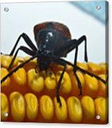 Inspecting Beetle Acrylic Print