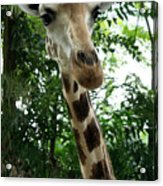 Inspector Giraffe Acrylic Print