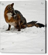 Intent Red Fox Acrylic Print
