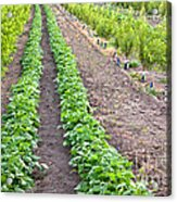Intercropped Trees And Beans Acrylic Print