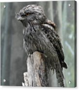 Interesting Tawny Frogmouth Perched On A Tree Stump Acrylic Print