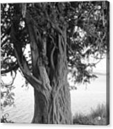 Intertwined For Life Black And White Acrylic Print by Jennifer Compton