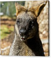 Interview With A Swamp Wallaby Acrylic Print