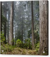 Into The Redwood Forest Acrylic Print