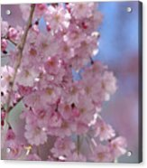 Into The Sakura - Japanese Cherry Blossom Acrylic Print