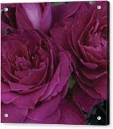 Intrigue Rose Acrylic Print