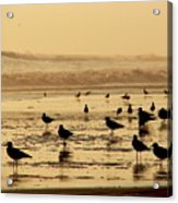 Iquique Chile Seagulls  Acrylic Print