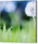 Ireland, County Westmeath, Dandelion In Meadow Acrylic Print