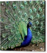 Iridescent Blue-green Peacock Acrylic Print