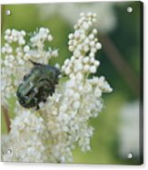 Iridescent Insect Acrylic Print