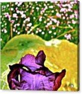 Iris 11 Acrylic Print
