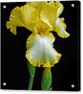 Iris 4 Acrylic Print