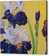 Iris Afternoon Delight Acrylic Print