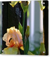 Iris Along The Fence 6731 H_2 Acrylic Print