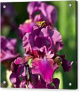 Iris And Moth Acrylic Print